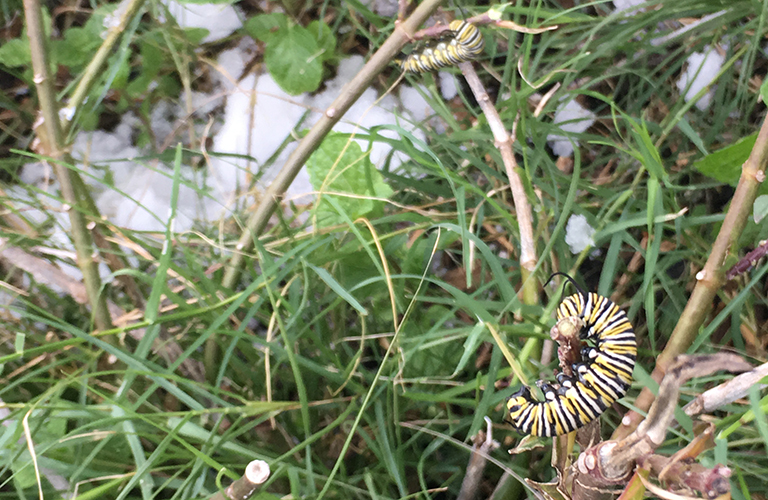 A monarch butterfly caterpillar on a branch with snow on the ground