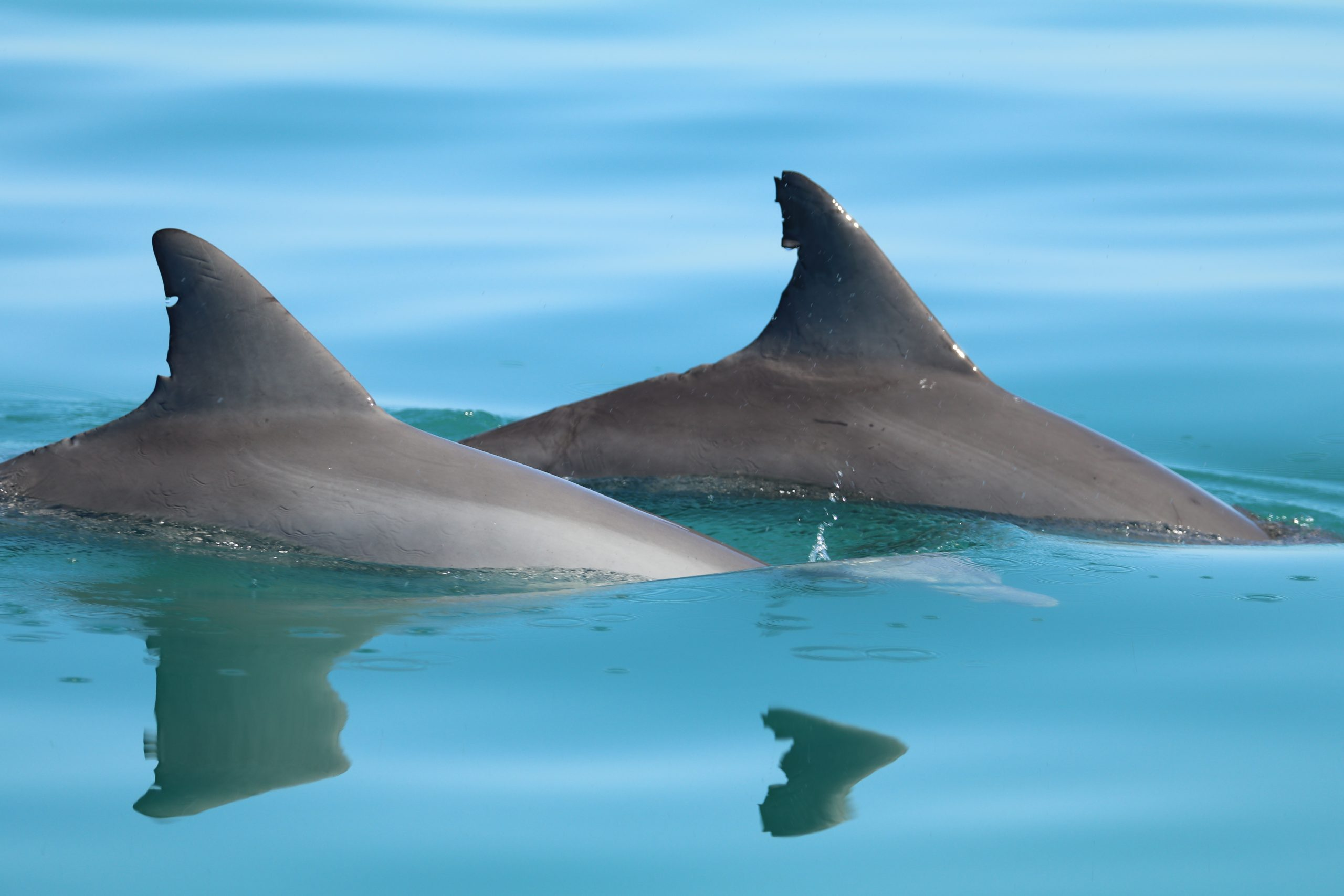 fins of two dolphins above water swimming side by side