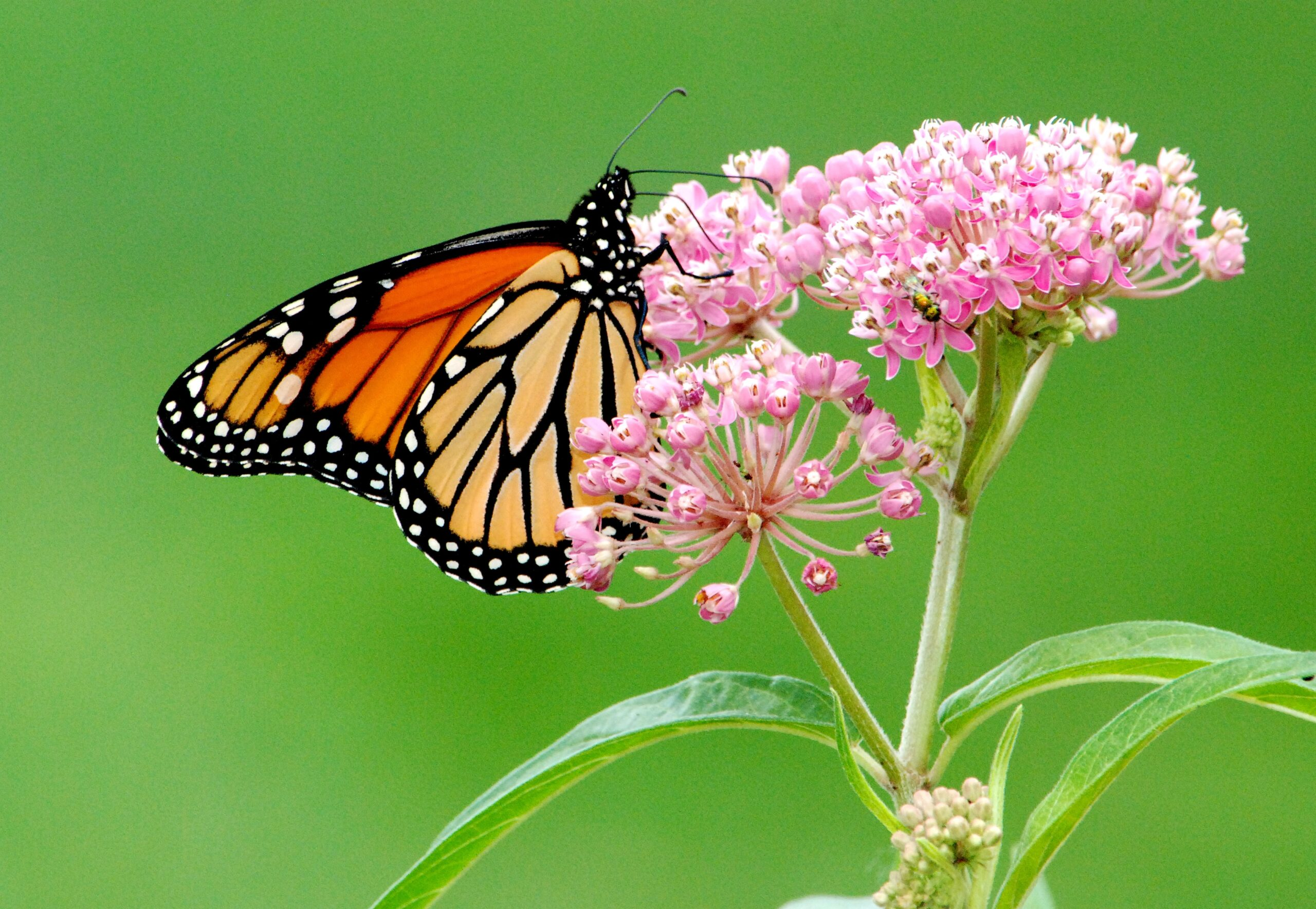 Photo of a monarch butterfly perched on a flower